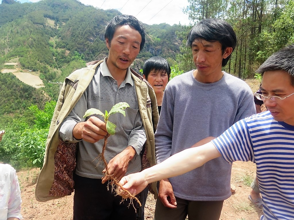 Meile farmers examining a virus on tobacco plants. Photo: World Agroforestry Centre