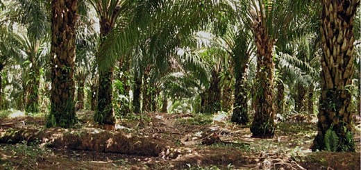 oil palm, mineral soil, Indonesia
