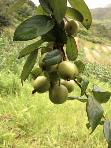 Son tra tree with fruit on farm boundary. Photo by Lua Hoang Thi.
