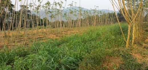Example of the diagram above in practice at a research site in Huong Son, Ha Tinh Province, with cassava (familiar crop, originally grown as a monoculture) intercropped (familiar technology for other land uses) to provide shade and wind protection for  lemongrass and marjoram (familiar crops from home garden now moved to upland fields). Photo: World Agroforestry Centre/Elisabeth Simelton