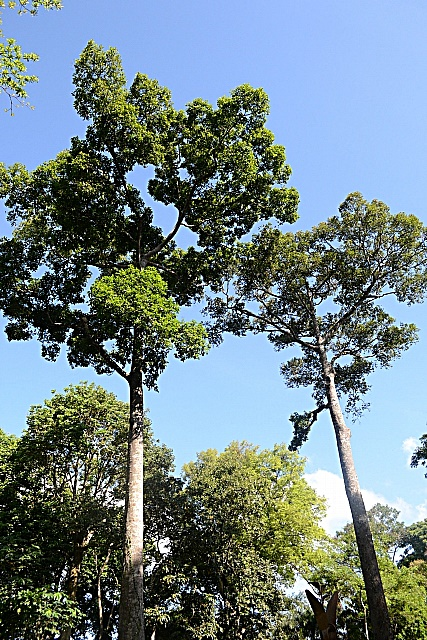 Dipterocarps are trees that have both economic and ecological value in Asia. Photo: World Agroforestry Centre/Rafaela Jane Delfino