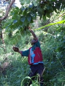 Measurements to determine tree biomass carbon. Photo: ICRAF