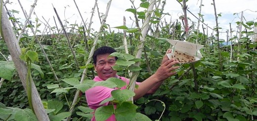 Mr Hoang Van Chau from Fruit and Vegetable Research Institute demonstrating the benefits of pheromone traps in an off-season vegetable trial in Mai Tien village. Photo: World Agroforestry Centre/CGIAR Research Program for