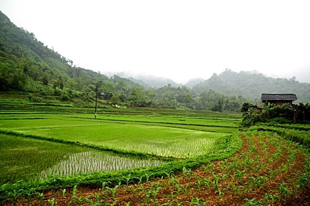 Rice and maize are the two main annual crops in the province. Photo: World Agroforestry Centre/Rachmat Mulia