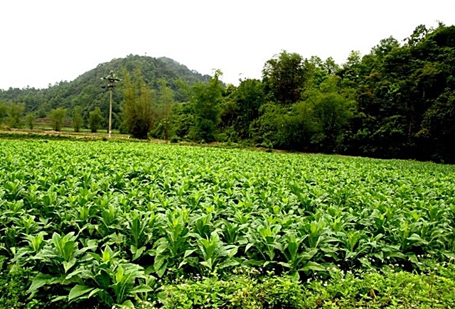 Tobacco farm in Coc Dan commune of Bac Kan province, Viet Nam. Photo: World Agroforestry Centre/Rachmat Mulia