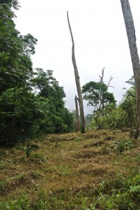 Cocoa fields right up against Taï National Park. Its 560,000 ha are relatively well preserved, but local perceptions are that deforestation has reduced rainfall. Hunting for bush meat, formerly relied upon, has been outlawed since the Ebola outbreak in neighbouring countries in 2014. Wildlife numbers are expected to increase but a deficit of protein remains.