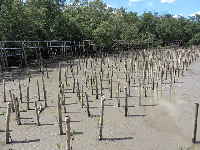 Mangrove seedlings planted by community members in Bang Kaew Sub-district, Samut Songkram Province. Photo: World Agroforestry Centre