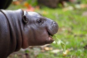 One of the estimated 4000 pygmy hippopotami (Choeropsis liberiensis) thought to remain in the wild. The Taï National Park and surrounding areas are one of the species' last strongholds. Photo credit Andrew Scorgie