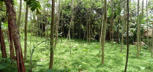 Sengon (Albizia sp.) intercropped with seasonal plants. Photo: World Agroforestry Centre/Dony Indiarto