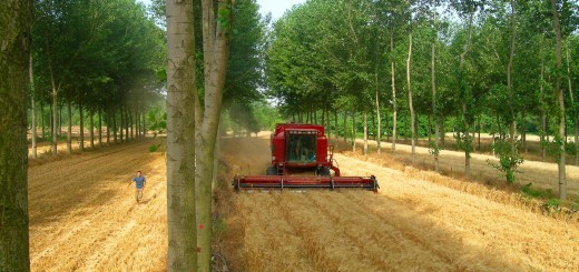 An agroforestry system (interplanting poplar trees and wheat) in southern France. The system produces more grain and wood by hectare than if the two crops were cultivated separately. Courtesy Christian Dupraz.