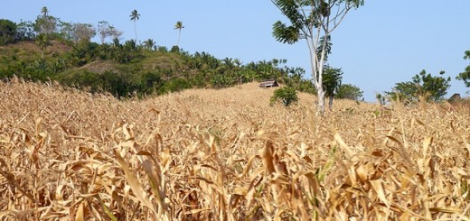 Failed maize crop. Photo: World Agroforestry Centre/Amy Lumban Gaol