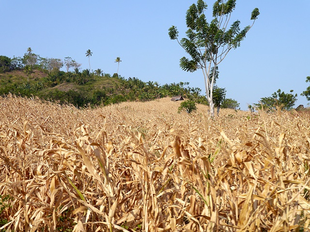 Maize farmers convert to agroforestry