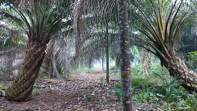 The path to sustainable and productive oil palm might be lined with other crops. In Indonesia, the World Agroforestry Centre has been working with farmers and government to test intercropping of the latex-producing 'jelutung' tree on peat. Photo: World Agroforestry Centre/Robert Finlayson