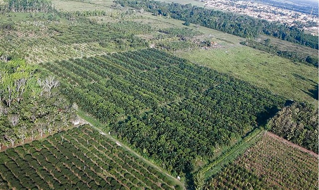 Oil palm and agroforestry experimental plot in Brazil, Year 5. Photo: Debora Castellani