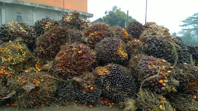 Oil palm fruit. Photo: World Agroforestry Centre/Robert Finlayson