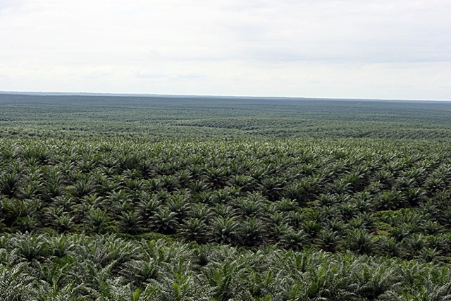Oil-palm landscape in Indonesia. Photo: World Agroforestry Centre