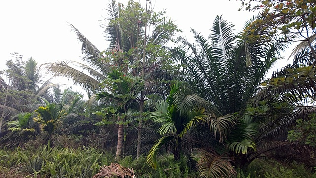 Oil palm (right) with 'jelutung' (Dyera costulata), a latex-producing tree, and coconut. Photo: World Agroforestry Centre/Robert Finlayson