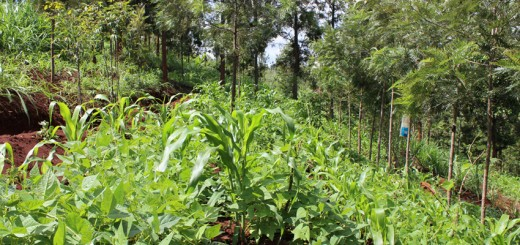 Agroforestry in Kenya delivers food and woodfuel for households. Photo by Daisy Ouya/ICRAF