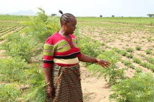 Winnie Saigodi has planted Gliricidia sepium and Grevillea robusta trees as shelter belts in her farm (Photo credit: IITA/Jonathan Odhong')