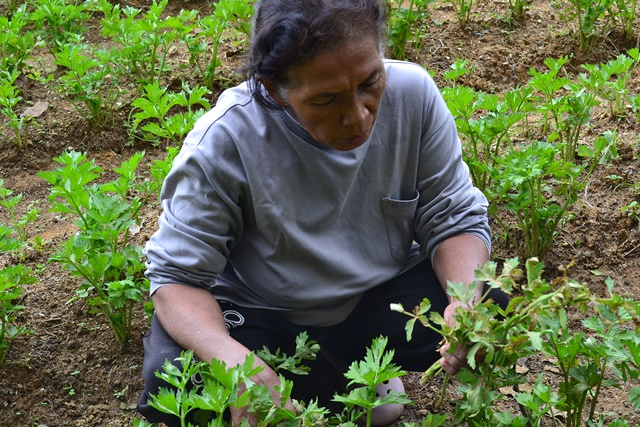 A farmer from Lantapan, Bukidnon, another rural community in the Philippines, examines her celery crop affected by climate change. Photo: World Agroforestry Centre/Edith Mayormita