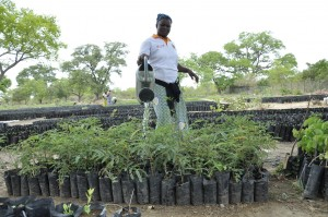Djalia Diasso waters tree seedlings at the BIODEV resource centre in Cassou, Burkina Fasso. She is a member of the Nezeledouan group supported by the BIODEV project. Photo ICRAF/Susan Onyango