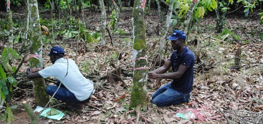 Grafting cocoa trees for higher production in Soubre, Cote d'Ivoire, under the Mars-sponsored Vision for Change Project. Photo By Claude Adjehi/ICRAF