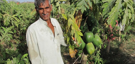 Incorporating fruit trees in farms -India. Photo: 	ICRAF/Charlie Pye-Smith
