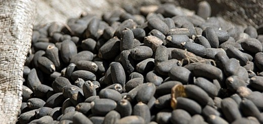 Jatropha seeds. Photo: Center For International Forestry Research/Jeff Walker