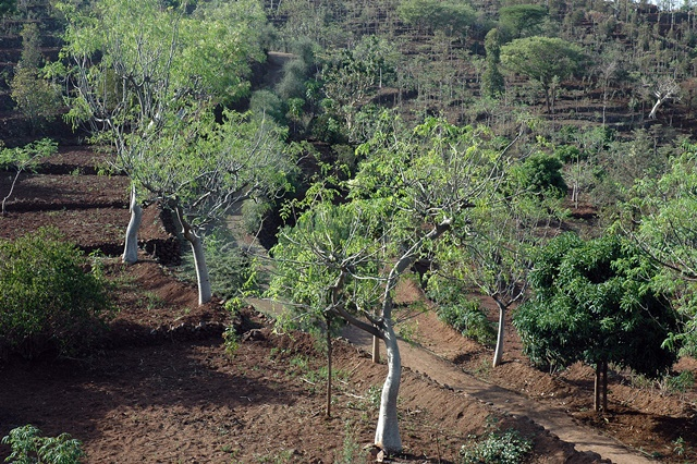 Moringa-based agroforestry in Konso, southern Ethiopia is a traditional soil conservation and tree planting practice that can be drawn on for landscape restoration. Photo: World Agroforestry Centre/A Gebrekirstos