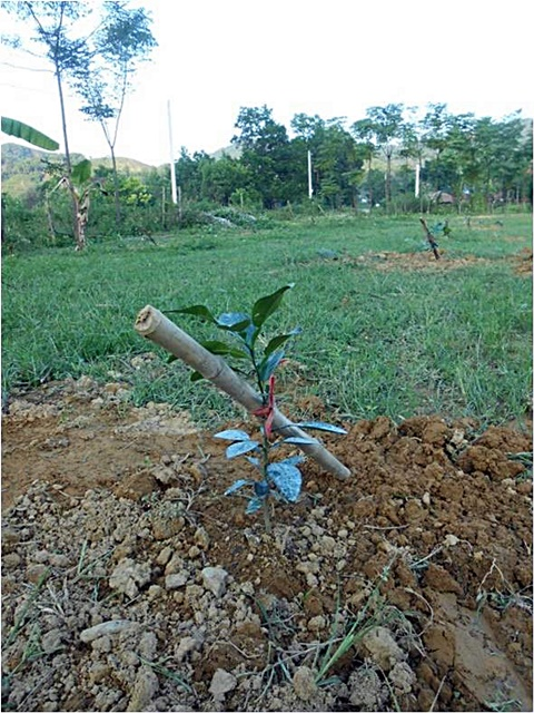 Newly planted pomelo. Photo: World Agroforestry Centre/Doan Thi Luyen