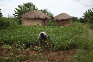 Smallholder farmers in Malawi are particularly vulnerable to the impacts of climate change. Photo: ICRAF.