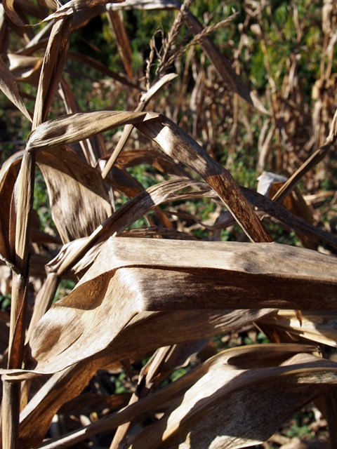 Diversion of food crops to bioenergy production could have dire consequences. Photo: World Agroforestry Centre/Robert Finlayson