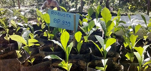 Robusta coffee seedlings. Photo: World Agroforestry Centre/Heru Maulana