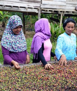 Farmers in Kendari harvesting coffee. Photo: World Agroforestry Centre/Heru Maulana
