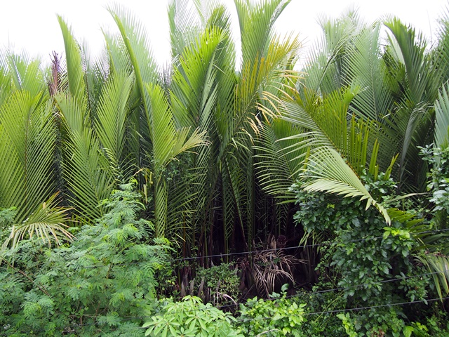 Stand of nypa palm. Photo: World Agroforestry Centre/Robert Finlayson