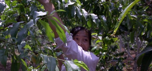 Agroforestry is bringing smiles to farmers' faces throughout Asia, as can be seen here, in Son La Province in Northwest Viet Nam. Photo: World Agroforestry Centre/Robert Finlayson