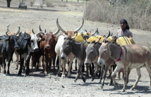 Ethiopian farmer with her livestock_sm