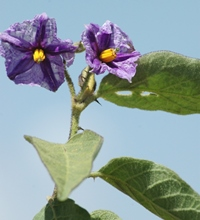 Solanum aculeastrum leaves and flowers_sm