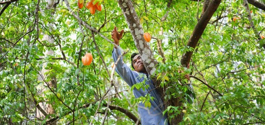 Gathering fruit in Laos. Photo: Neil Palmer (IWMI)