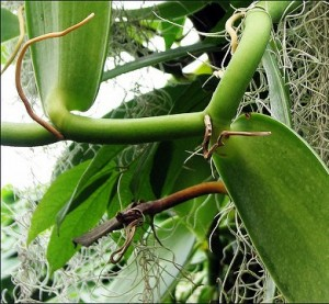 vanilla planifolia (vanilla bean vine) in the Arboretum greenhouse