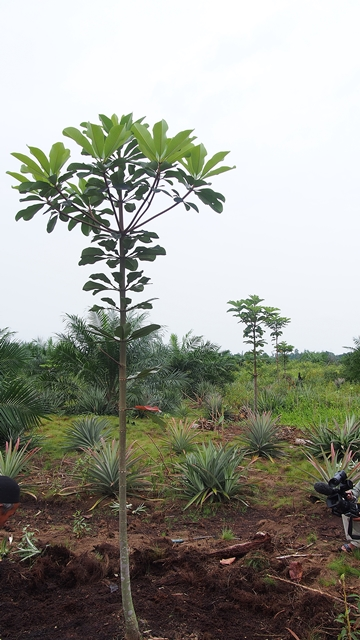 A row of young jelutung trees between young oil palms in Tabung Jabung Barat District. Photo: World Agroforestry Centre/Robert Finlayson