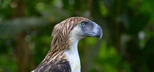 The Philippine Eagle is one species to benefit from improved conservation in the Northern Sierra Madre Natural Park. Photo: Shankar S. / FlickR