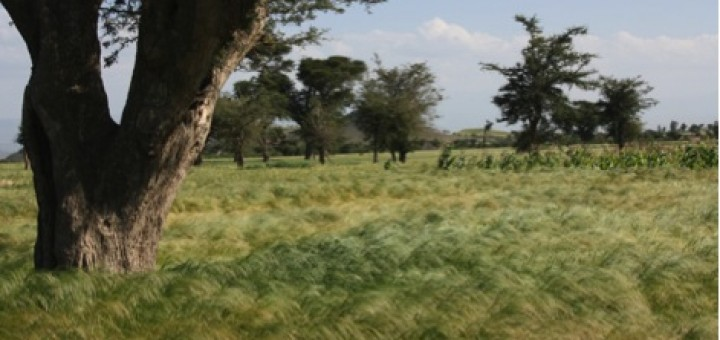 How does resource competition with trees affect growth of the Ethiopian signature grain tef? A probabilistic approach can aid in modelling complex agroforestry systems. Photo by Eike Luedeling/ICRAF