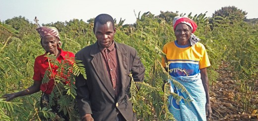 Malawi farmer in his maize field intercropped with fertilizer trees. Photo: Mark Ndipita/ICRAF
