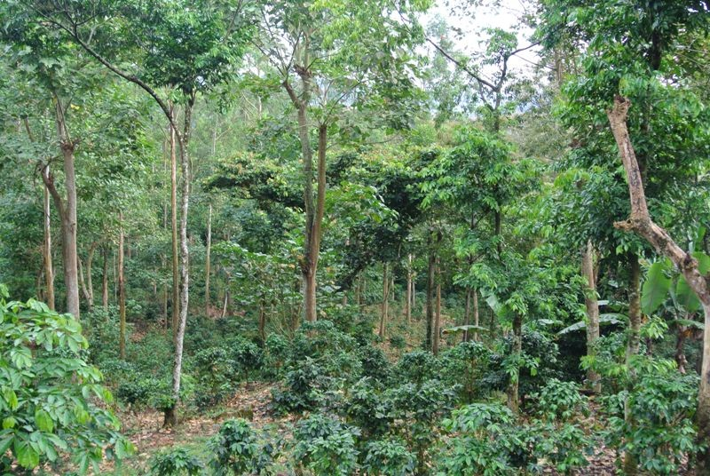 Coffee growing under forest remnants in Ladalia. Dispersed in crop fields and pastures or planted in lines, trees are a conspicuous element in agricultural landscapes. Photo C Watson/ICRAF