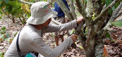 Practising pruning a cocoa tree. Photo: World Agroforestry Centre/Hendra Gunawan