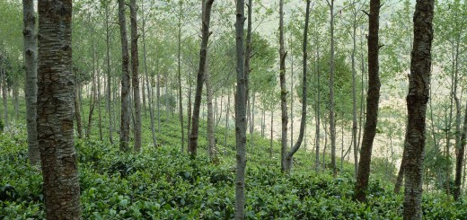 Alder tea mixed agroforestry in East and Central Asia. Photograph/ World Agroforestry Centre