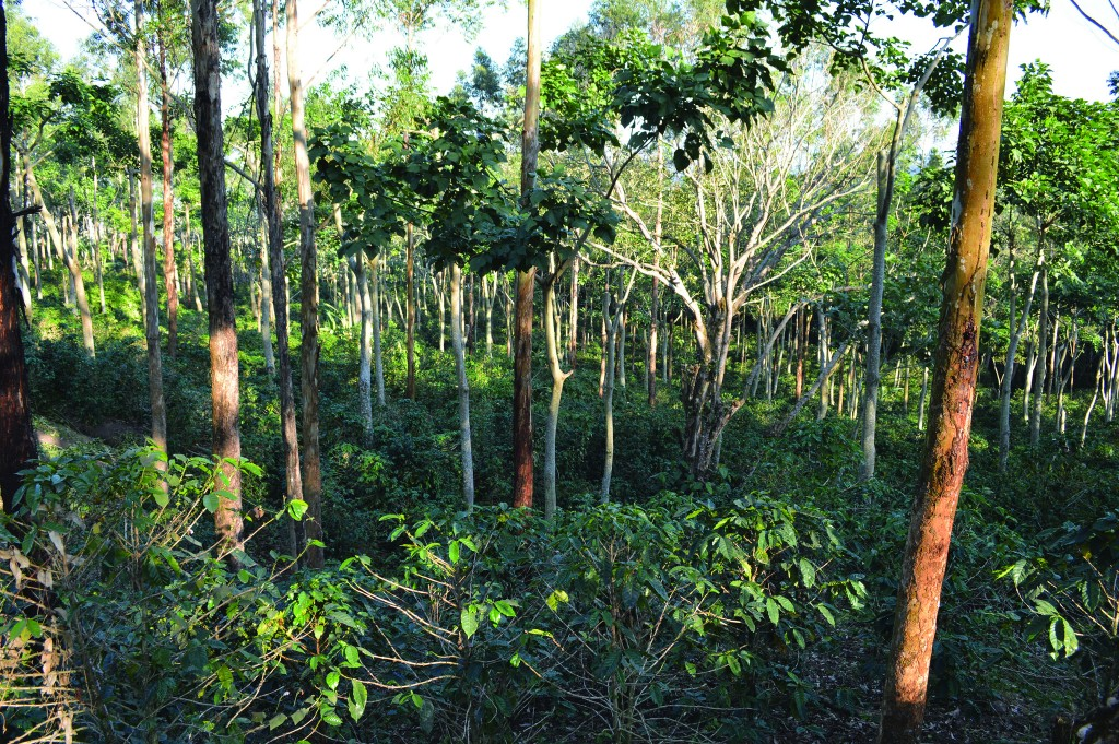 Much of the coffee in Nicaragua is grown under a canopy of shade. Photo: World Agroforestry Centre