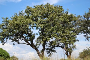 The Shea tree grows typically in agroforestry parklands. Photo L Deenan