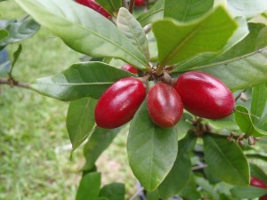 The miracle berry, Synsepalum dulcificum or Sisre. Photo Hamale Lyman